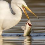 Earl Blansfield (Big Stone Beach, DE) Great Egret Fishing