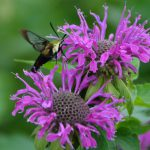 Michele Walfred (Sussex County Master Gardener's Demonstration Garden, Georgetown, DE) Wild Bergamot (monarda fistulosa) offers its pollen to a visiting Clearwing Butterfly Moth (Hemaris thysbe).