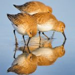 Dunlins at Prime Hook by Bill Corbett