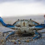 Battle Ready Blue Crab at Cape Henlopen State Park by Joe Hengel