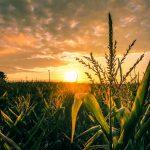 Zachary Williams_Corn Field in Magnolia at Sunset