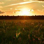 Christine Moore (Corn field on Beideman Road in Lincoln, Delaware)
