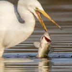 Earl Blansfield (Big Stone Beach, DE) Great Egret Fishing