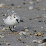 Stacey Steinberg (Fowler Beach) Sanderling