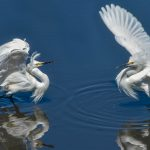 Snowy Egrets Fighting by Kimberly Barksdale