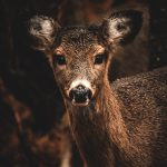 White Tailed Deer at Cape Henlopen State Park by Sean Griffith