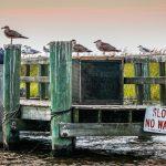 Seagulls Sitting On A Dock Near Woodland Beach by Zachary Williams